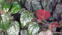 Manfaat daun sirih merah untuk kesehatan: mengobati diabetes sampai radang mata